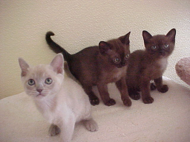 The two sable kittens on the right are mine. The other is their brother who went home to another family. This picture was from their breeder.